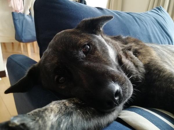 ミックス犬トキ