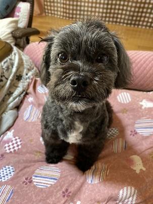 トイプードルのミックス犬