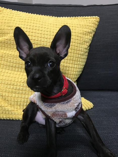 ミックス犬ピノコ