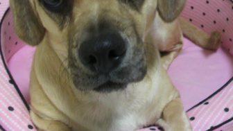 パグとミニチュアダックスのミックス犬マリンちゃん♬