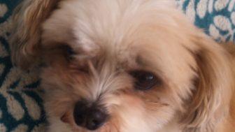 シーズーとパピヨンのミックス犬たんぽぽちゃん♬
