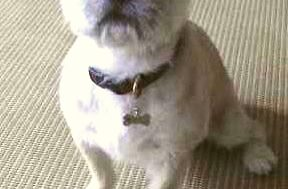 シーズーとフレンチブルドッグのミックス犬モモちゃん♬