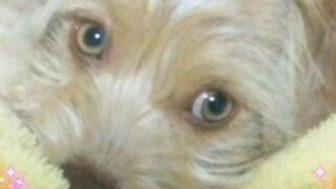 ジャックラッセルテリアとマルチーズのミックス犬ぷりんくん♬
