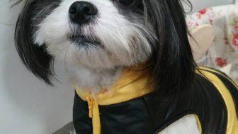 マルチーズと狆のミックス犬ぽんすけくん♬
