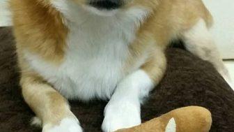 チベタンスパニエルとコーギーのミックス犬チベ子ちゃん♬