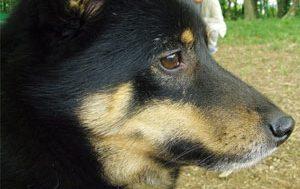 柴犬の人気ミックス犬の画像紹介、シバティ、ダル柴、柴犬のミックス犬特集