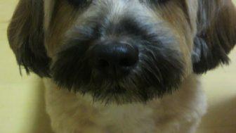 ミニチュアダックスとシーズーのミックス犬くるみちゃん♬