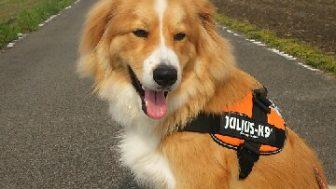 秋田犬とバーニーズマウンテンドッグのミックス犬コロ助くん♬